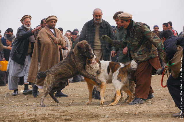 Afghan Dog Fighting