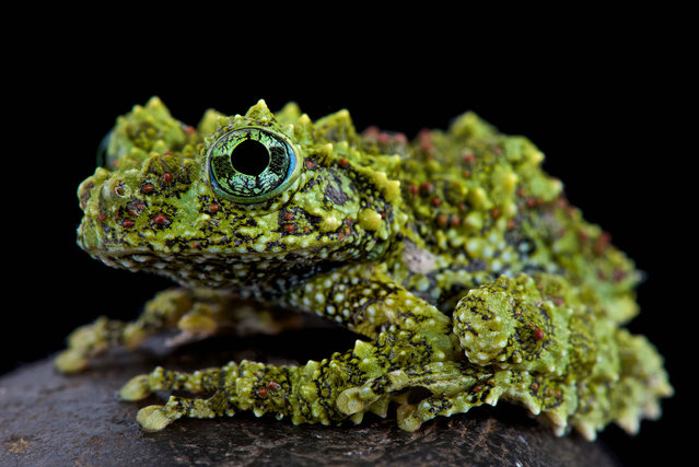 Mossy frog (Theloderma corticale). (Photo by Matthijs Kuijpers/The Guardian)