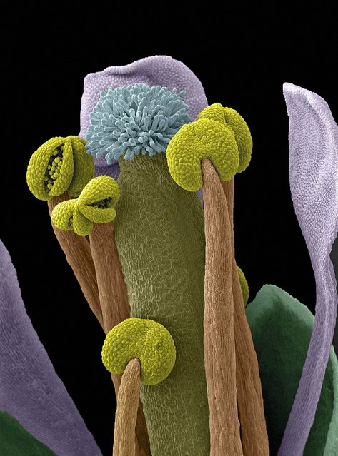 Scanning electron micrograph (SEM) of an Arabidopsis thaliana flower, also commonly known as thale cress. Some of the anthers are open, revealing pollen grains ready for dispersal. Arabidopsis was the first plant to have its entire genome sequenced and is widely used as a model organism in molecular and plant biology. Horizontal width of image is 1200 microns. Magnification 100x. (Photo by Stefan Eberhard/Wellcome Images)