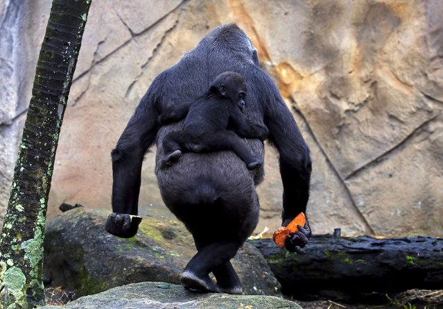 "A Western Lowland Gorilla baby named ""Mjukuu"", that was born in October last year, rides on the back of its Mother ""Mbeli"" in their enclosure at Taronga Zoo in Sydney, Australia, May 19, 2015. (Photo by David Gray/Reuters)"