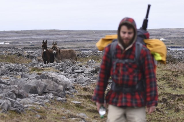 Donkeys look as Alex Ellis-Roswell walks the coastline of Inis Mor on the Aran Islands off the west coast of Ireland April 17, 2016. Ellis-Roswell who set off from Kent on August 3, 2014, aims to walk the entire coastline of Britain and Ireland, a 10,000 mile journey that will take four years, to raise funds and awareness for the Royal National Lifeboat Institution (RNLI). (Photo by Clodagh Kilcoyne/Reuters)
