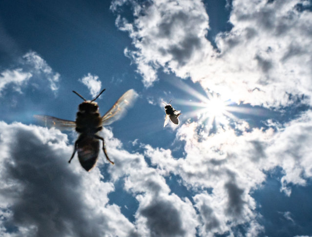 Bees fly before the sun in the slightly cloudy sky to their hive in Frankfurt am Main, Germany on August 13, 2019. (Photo by Frank Rumpenhorst/dpa)