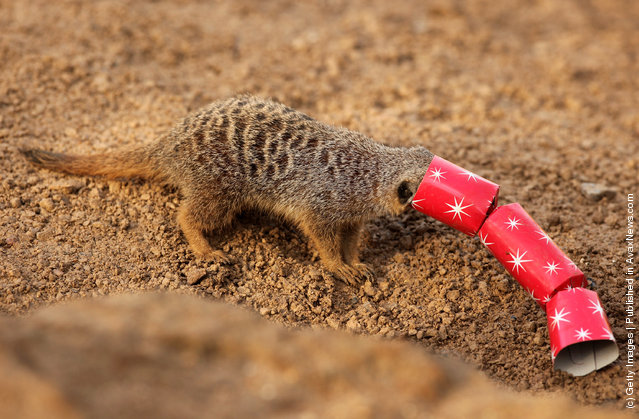 Christmas Treats For Meerkats