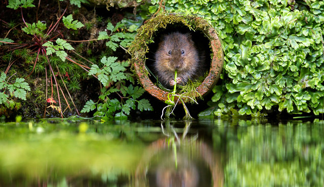 """""""Vole in a hole"""". A wild water vole sitting in his favourite water pipe munching on some water weed. Photo location: East Malling, Kent, UK. (Photo and caption by Mark Bridger/National Geographic Photo Contest)"""