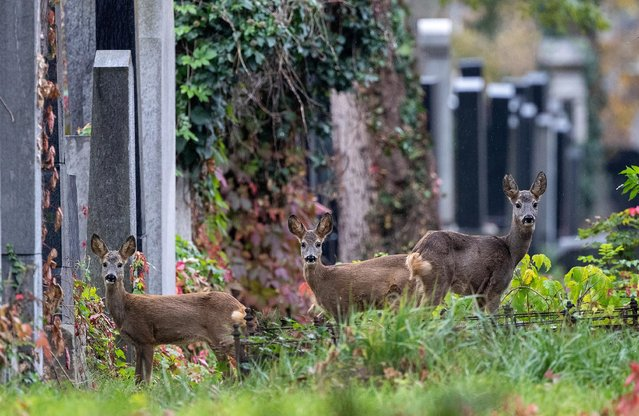 Deer are seen between tombstones at the old jewish part of the Zentralfriedhof cemetery on an autumn day ahead of All Saints Day in Vienna, Austria, October 30, 2019. (Photo by Lisi Niesner/Reuters)