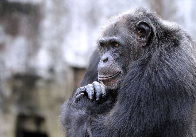 A chimpanzee is seen at the zoo in Abidjan on June 12, 2014. The zoo is home to approximately 250 amimals of 42 species. (Photo by Sia Kambou/AFP Photo)