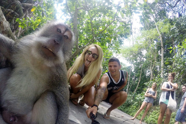 "British tourists snap a cheeky selfie with a monkey at the Ubud Monkey Forest in Bali, Indonesia, August 4, 2015. George Benton, 22, from Paignton, Devon was visiting the Sacred Monkey Forest Sanctuary in Ubud, Bali whilst traveling with his girlfriend Chloe when the couple snapped a surprise shot with Balinese long-tailed monkey using a ""selfie stick"". (Photo by George Benton/Splash News)"