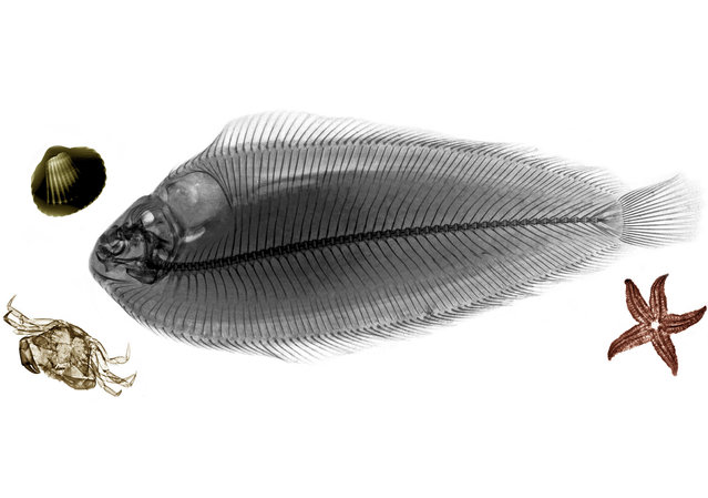 Coloured X-ray of a sole fish.  A physicist has used X-ray to create an extraordinary collection of artwork. A physicist has used X-ray to create an extraordinary collection of artwork. Arie van't Riets pictures reveal birds, fish, monkeys and flowers in an incredible new light. The 66-year-old, from Bathmen in the Netherlands, began X-raying flowers as a means to teach radiographers and physicians how the machine worked. But after adding a bit of colour to the pictures, the retired medical physicist realised the potential for an exciting new collection of art. (Photo by Arie van't Riet/Barcroft Media)