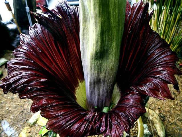 The corpse flower blooms on Monday. (Photo by Bill Ingram/The Palm Beach Post)
