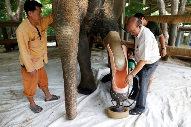 Motola, the elephant that was injured by a landmine, has her prosthetic leg attached at the Friends of the Asian Elephant Foundation in Lampang, Thailand, June 29, 2016. The Thai-Myanmar border is still dotted with landmines left over from clashes between ethnic-minority rebels and the Myanmar army dating back decades. Elephants Mosha and Motola lost limbs when they stepped on landmines. (Photo by Athit Perawongmetha/Reuters)