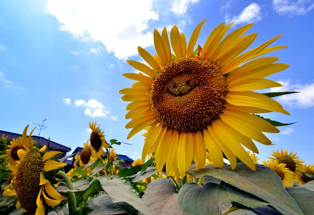"""A sunflower """"smiles"""" in a field in Tokyo on August 7, 2014. (Photo by Yoshikazu Tsuno/AFP Photo)"""