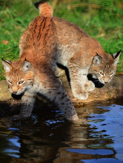 Northern Lynx kittens explore their enclosure at the Highland Wildlife park on October 9, 2012 in Kingussie, Scotland. The feline twins are believed to be the type of lynx found historically in Scotland. The Highland Wildlife Park specialises in Scottish animal species, both past and present, and species that are well adapted to cold weather.  (Photo by Jeff J. Mitchell)