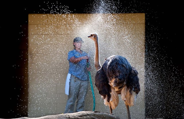 Zoo keeper Mandy Zachgo cools off Marzipan, a female ostrich, with a hose shower, a daily ritual on hot days at the zoom in Sacramento, October 2, 2012. (Photo by Randy Pench/The Sacramento Bee)