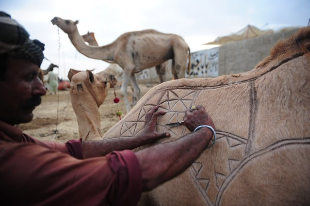 A Pakistani livestock trader decorates a camel to attract customers at a market ahead of the sacrificial Eid al-Adha festival in Karachi on October 1, 2014. Eid al-Adha, or the Feast of Sacrifice, honours Abraham's willingness to sacrifice his son Ishmael on the order of God, who according to tradition then provided a lamb in the boy's place. (Photo by Asif Hassan/AFP Photo)