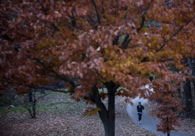 A runner passes trees with leaves changing color in Rock Creek Park on November 18, 2012 in Washington, DC. (Photo by Brendan Smialowski/AFP Photo)