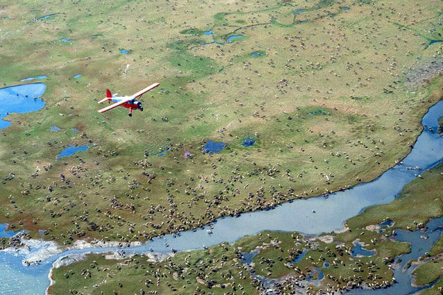 In this undated photo provided by the U.S. Fish and Wildlife Service, an airplane flies over caribou from the Porcupine Caribou Herd on the coastal plain of the Arctic National Wildlife Refuge in northeast Alaska. A showdown is looming in the nation's capital over whether to open America's largest wildlife refuge to oil drilling. A budget measure approved by the Republican-controlled Congress allows lawmakers to pursue legislation that would allow drilling on the coastal plain of the Arctic National Wildlife Refuge. The refuge takes up an area nearly the size of South Carolina in Alaska's northeast corner. (Photo by U.S. Fish and Wildlife Service via AP Photo)