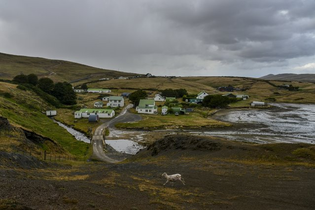 A freshly shorn sheep makes its way across the cold and wet settlement on Saturday, February 13, 2016, in Port Howard, Falkland Islands.  With a population of 30 people, Port Howard is the largest settlement on West Falkland.  Nearly half a million sheep populate the islands compared to roughly 2,500 people. (Photo by Jahi Chikwendiu/The Washington Post)
