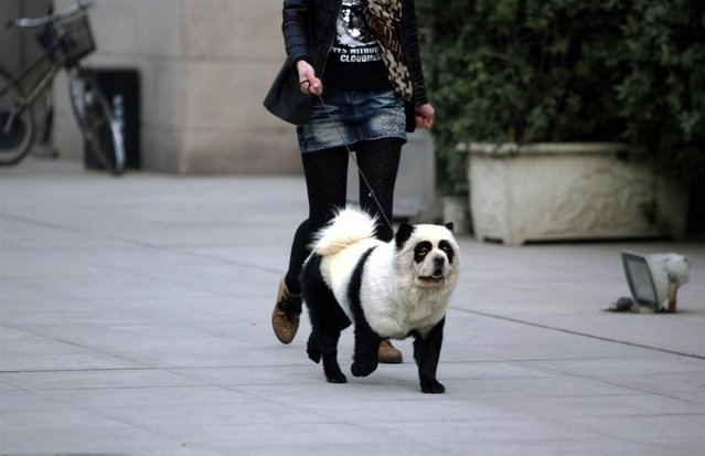 A dog dyed to look like a panda walks on a street in China on November 24, 2012. (Photo by Chinafotopress via Zuma Press)
