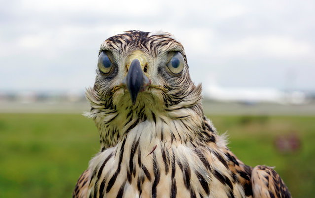 A hawk used to control fauna to avoid bird strikes during takeoffs and landings is pictured at Domodedovo airport outside Moscow, Russia September 2, 2016. (Photo by Maxim Zmeyev/Reuters)