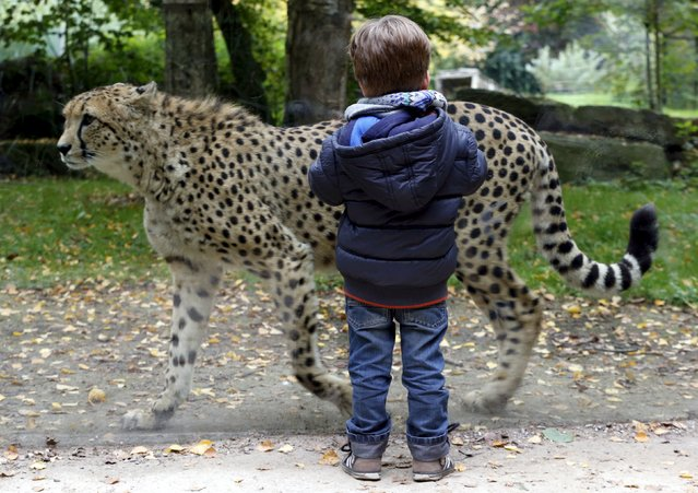 A boy watches a cheetah walking in his enclosure at Planckendael's zoo near Mechelen, Belgium, October 10, 2015. (Photo by Francois Lenoir/Reuters)