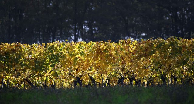 Yellow leaves are seen in a vineyard as autumn colors mark the change of season in Soultz in the Alsace region of France, October 12, 2015. (Photo by Jacky Naegelen/Reuters)