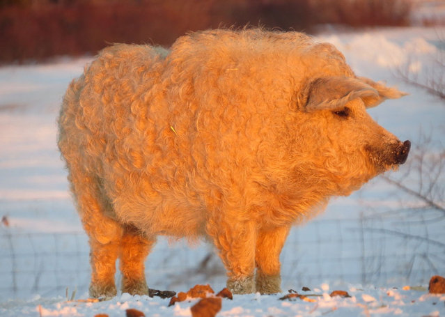 Mangalitsa The Hairy Pig