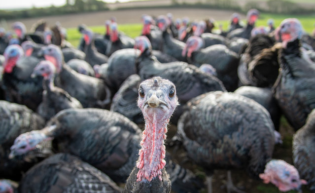 Turkeys are seen at Chilcott Turkeys farm on October 07, 2020 in Owermoigne, United Kingdom. Mark Chilcott of free-range Chilcott Turkeys farm has reared 1200 smaller turkeys to cater for the low demand for large birds due to the COVID-19 Rule of Six and smaller gatherings this coming Christmas. (Photo by Finnbarr Webster/Getty Images)