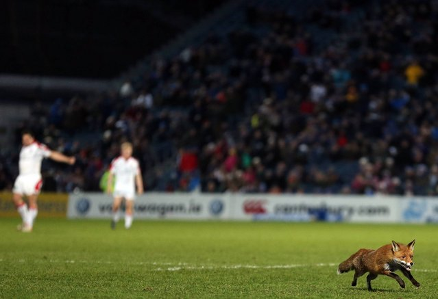A fox runs out onto the pitch before the start of the second half. Celtic League 2012/13, Round 19, Leinster v Ulster, RDS, Ballsbridge, Dublin, March 30, 2013. (Photo by Paul Mohan)