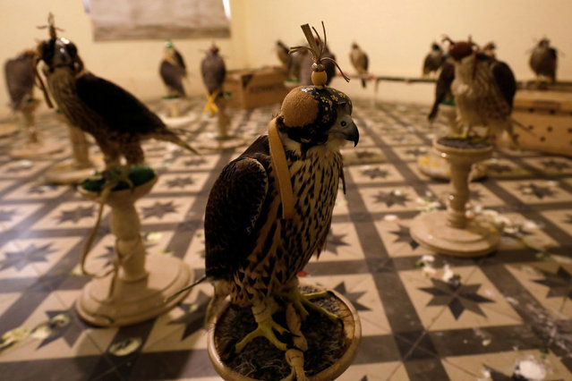 Falcons are seen at the office of the Anti-Smuggling Organisation of Pakistan Customs, after they were seized in Karachi, Pakistan on October 17, 2020. According to a press release by Customs at least seventy-four falcons worth 200 million Pakistani Rupees ($1.2 million) belonging to endangered species under International Convention on Illegal Trade on Endangered Species (CITES) were seized during a raid in Karachi. (Photo by Akhtar Soomro/Reuters)