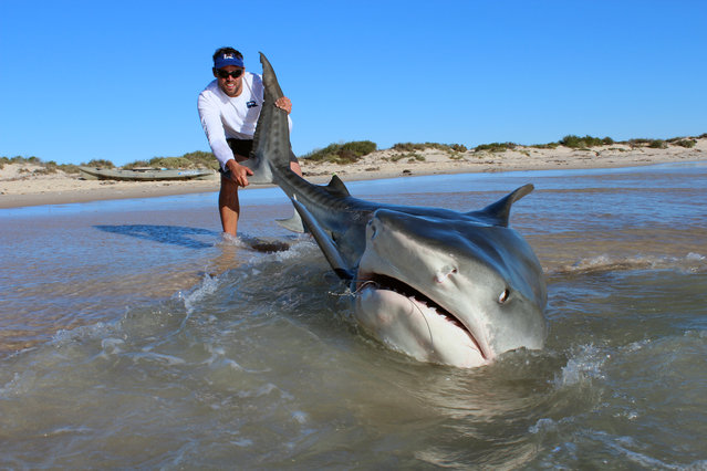 These Aussie fishermen dont need to exaggerate this catch of the day because they landed a massive 14-foot tiger shark on a beach. Angling legends Jethro Bonnitcha, 30, and Joshua Butterworth, 29, managed to hook an impressive 10 tiger sharks in just a four-day fishing trip and they didnt even need a bigger boat. Jethro Jet and Josh, from Esperance, Western Australia, baited lines 300 feet from the beach and waited for the massive predators to take a bite. (Photo by Caters News Agency)
