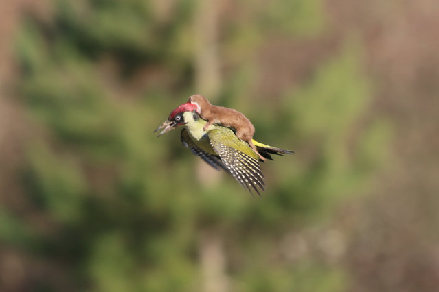 In 2015 amateur photographer Martin Le-May shot this image in Hornchurch Country Park, London, UK, but the picture doesn't tell the full story. The weasel attacked the woodpecker and refused to give up even when the bird took flight. An aerial scrap ensued before the weasel tumbled and the woodpecker escaped. A sign now marks the spot where the sensational snap was taken. (Photo by Martin LeMay)