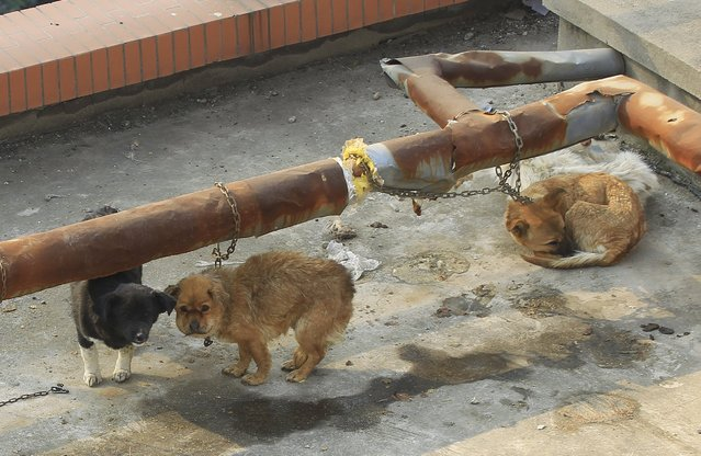Dogs are seen on the roof of a medical school after photos of these dogs caused a public outrage on the Internet, in Xi'an, Shaanxi province, China, December 6, 2015. Public outrage in China over photographs of laboratory dogs lying muzzled and abandoned on the roof of a medical school building spotlights changing attitudes to animal rights, animal welfare groups say. (Photo by Reuters/Stringer)