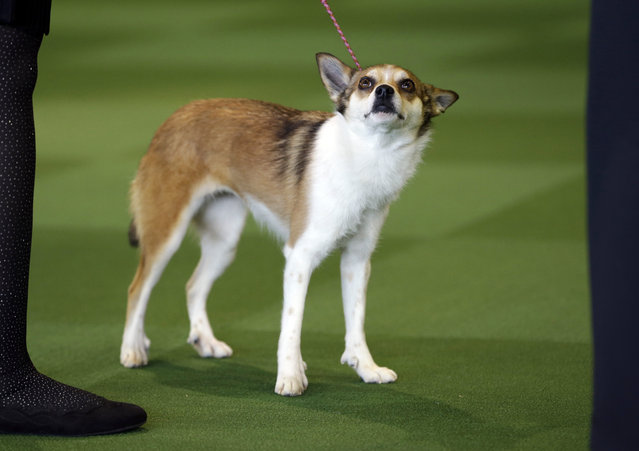 Sisi, a Norwegian Lundehund, won best in breed uncontested at the Westminster Kennel Club show in New York, Monday, February 16, 2015. (Photo by Seth Wenig/AP Photo)