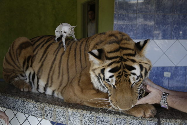 The Borges' family pet dog, Little, is placed on the back of Tom, their tiger, for a photo to be taken, in Maringa, Brazil, Friday, September 27, 2013. The Brazilian family is now locked in a legal dispute for the big cats, they have eight tigers and two lions, with federal wildlife officials working to take them away. While Borges does have a license to raise the animals, Brazilian wildlife officials say he illegally bred the cats, creating a public danger. (Photo by Renata Brito/AP Photo)