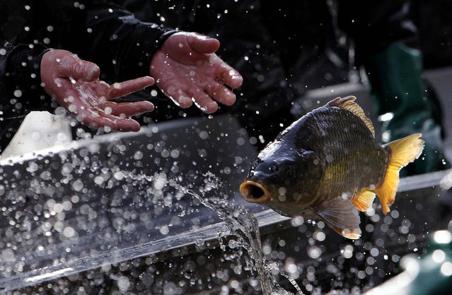 A fisherman throws a fish during the traditional carp haul in the village of Stankov, near the south Bohemian town of Trebon, Czech Republic, on Oktober 15, 2013. (Photo by David W Cerny/Reuters)