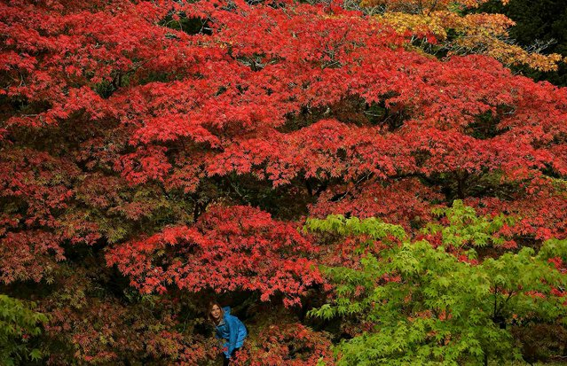 A visitor views the spectacular autumn colors in the Acer Glade at Westonbirt Arboretum, near Tetbury, England, October 17, 2013. Originally planted in the heyday of Victorian plant hunting in the mid-nineteenth century, the arboretum boasts one of the world's finest tree collections. (Photo by Toby Melville/Reuters)