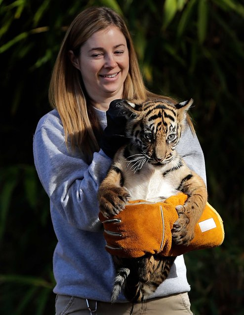 Sumatran tiger cub Sukacita is held by biologist Leigh Pitsko after the cub performed her swim test at the National Zoo, on November 6, 2013. (Photo by Win McNamee/Getty Images)
