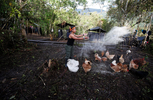 COLOMBIA: Patricia, a member of the 51st Front of the Revolutionary Armed Forces of Colombia (FARC), feeds chickens at a camp in Cordillera Oriental, Colombia, August 16, 2016. (Photo by John Vizcaino/Reuters)