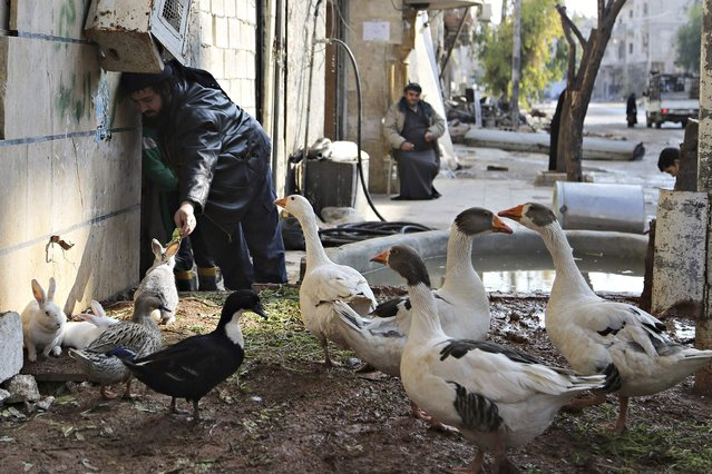 Abu Jasem feeds a rabbit in Aleppo January 1, 2015. A resident of Aleppo, Jasem, started taking care of animals amid debri of damaged buildings fearing a seige from forces loyal to Syria's president Bashar Al-Assad on the city, he said. (Photo by Hamid Khatib/Reuters)
