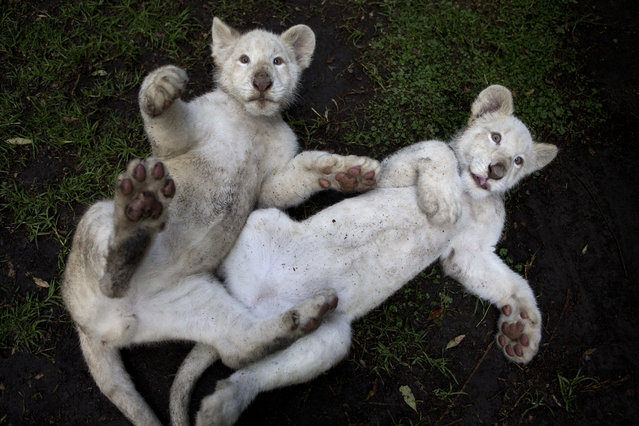 A pair of four-month-old white lion cubs play together in their enclosure at the Altiplano Zoo in Tlaxcala, Mexico, August 7, 2018. Just over a dozen white lions remain in the wild, according to the Global While Lion Protection Trust, based in South Africa, though several hundred are held in zoos around the world, including several in Mexico. They are not albinos, but have coloration that results from a genetic rarity. (Photo by Rebecca Blackwell/AP Photo)