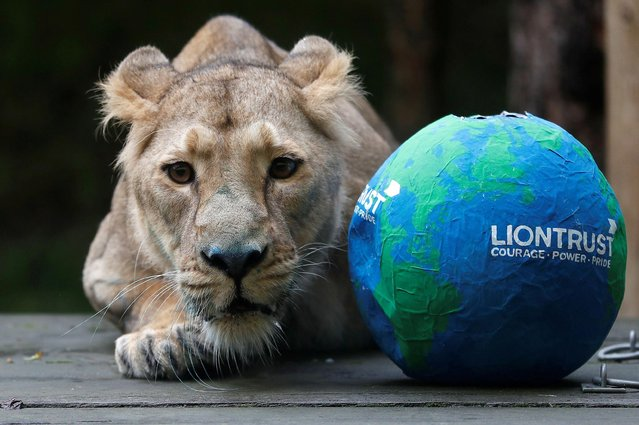 Arya, the Asiatic lioness is seen during a photo-opportunity to mark World Lion Day at ZSL London Zoo in London, Britain, August 9, 2021. (Photo by Peter Nicholls/Reuters)