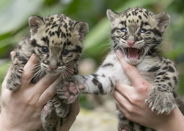 Baby clouded leopards, born early in March 2015, are presented by zoo keepers at the Olmense Zoo in Olmen, Belgium, April 16, 2015. (Photo by Yves Herman/Reuters)