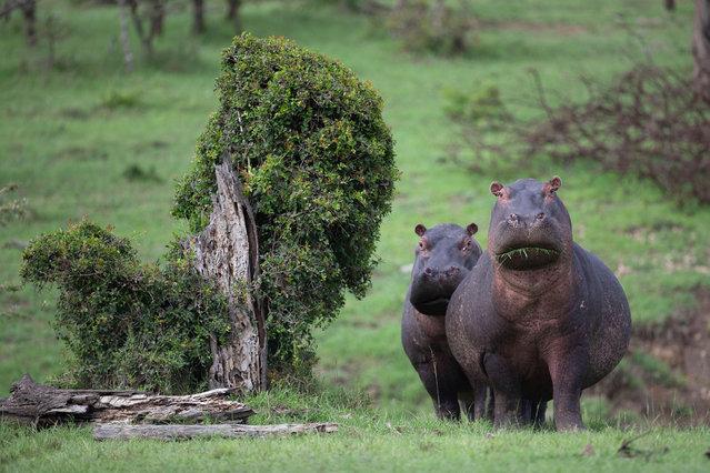 A pair of curious hippos in Ol Kinyei conservancy, Maasai Mara, Kenya. (Photo by Chetan Rangaraj/Alamy Live News)