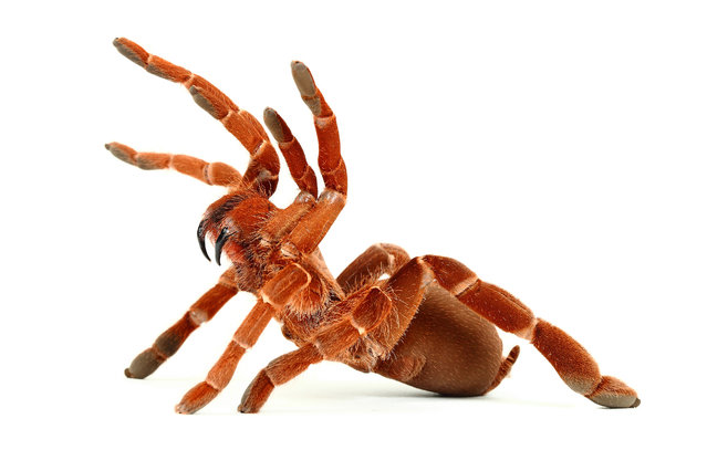 King Baboon Spider (Pelinobius Muticus). (Photo by Mickael Leger/Caters News)