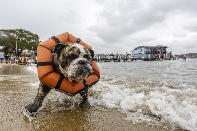 """A dog wearing a bouyancy aid  is pictured on the beach at Watsons Bay during the annual """"Every Man and His Dog"""" paddle board race on January 26, 2017 in Sydney, Australia.  Australia Day, formerly known as Foundation Day, is the official national day of Australia and is celebrated annually on January 26 to commemorate the arrival of the First Fleet to Sydney in 1788. (Photo by Brook Mitchell/Getty Images)"""