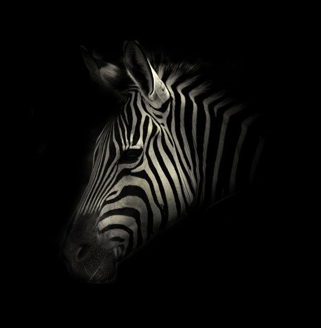 Zebra. (Photo by Alex Teuscher/BNPS)