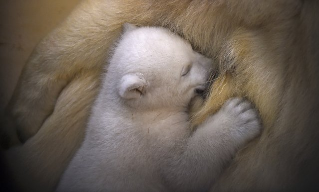 A polar bear cub snuggles up against her mother Valeska, in their enclosure at Bremerhaven's (Bremen's) Zoo by the Sea, Germany March 9, 2016. The female cub, who is yet to ne named, was born on December 11 last year. (Photo by Carmen Jaspersen/Reuters)
