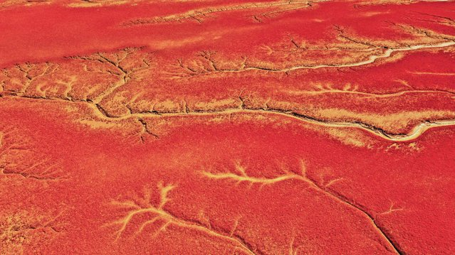 This aerial photo taken on August 27, 2021 shows a view of the Red Beach, so named due to the suaeda salsa plant which grows across the marshland landscape, in Panjin, China's northeastern Liaoning province. (Photo by AFP Photo/China Stringer Network)