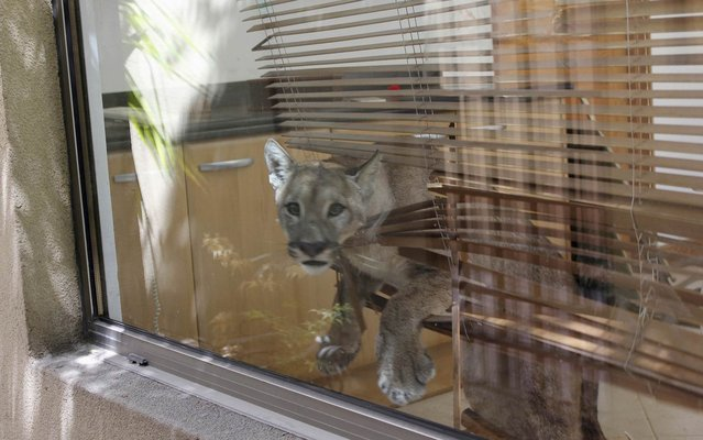 A puma is seen inside the kitchen of a residential home in this handout picture provided by the Agricultural and Livestock Service of Chile (SAG), in Santiago January 29, 2014