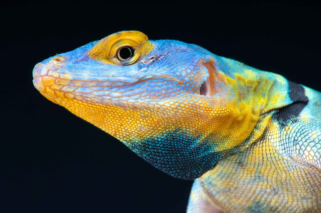 Baja blue rock lizard (Petrosaurus thalassinus). (Photo by Matthijs Kuijpers/The Guardian)